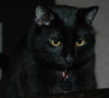 Portrait of a Black Cat by Salemburn