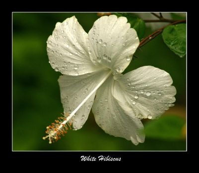 White Hibiscus by WindCrest