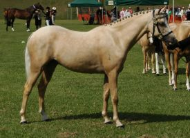 Palomino-riding-pony-25 by tbg-stock-images