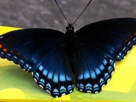 Blue Butterfly by BokehSmile