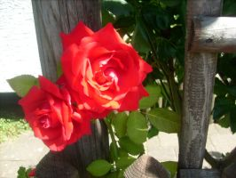 roses at a fence 2 by ingeline-art