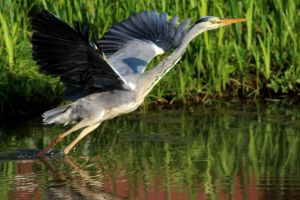 Heron on the run by harlia