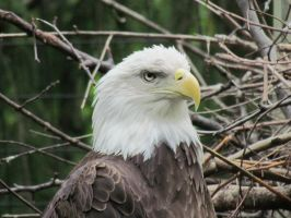 Bald Eagle at Columbus Zoo by TSofian