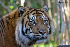 Sumatran Tiger 4 by Mkatpro11