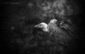 Vulture. by Phototubby