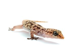 Mediterranean House Gecko by ribbonworm