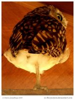 Cute Burrowing Owl by In-the-picture