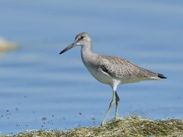 Willet by JestePhotography