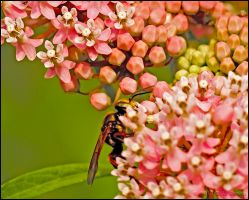 Wasp On Pink Flower by bamako
