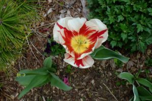 Red and white tulip by EruwaedhielElleth