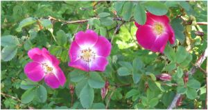 Rosa spinosissima 'Mrs Colville' by Kattvinge