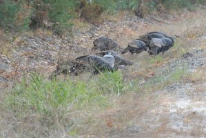 Gobble, Wild Turkeys By the Side of the Highway 2 by Miss-Tbones