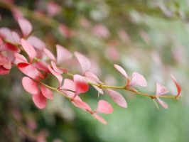 Red Leaves. by asaluiphotography