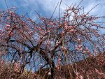 Japanese apricot in Tokyo 701 by hirolu