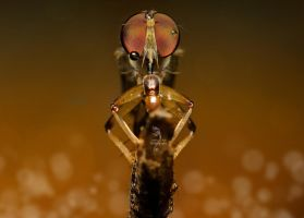 Robberfly by travellerplanet