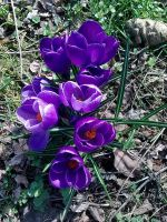 Violet Crocus by Alcyone07
