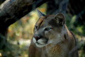 Cougar by Snowleopard59