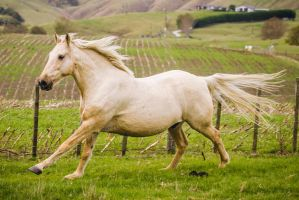 Palomino Gelding Gallop by DWDStock