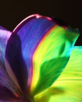 Happy Tulip Rainbow Range 004 by RAINBOWedROSES