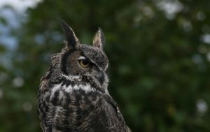 Great Horned Glance by JAHphoto