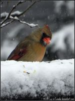 Lady Cardinal in snowstorm by Lou-in-Canada