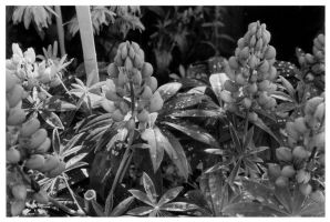 Lupins And Raindrops by friedmoonthing