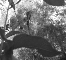 BW Butterfly by tooterfish-popkin