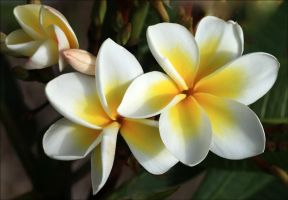 Plumeria First This Spring.. by Firey-Sunset