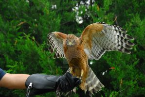 CatherineCross Red-Shouldered Hawk by CatherineCross