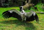 White-Backed Vulture... by EricReynolds