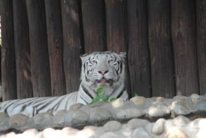 white tiger 4 by AngelicPicture