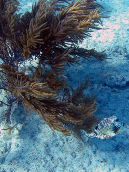 Trunkfish by crop