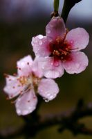 Peach Blossom 3 by crichton380
