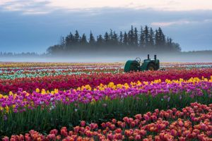 Wooden Shoe Tulips by porbital