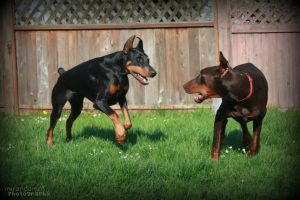 Doberman Play by M-M-Photography