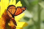 Viceroy and Sunflower 3 by CASPER1830