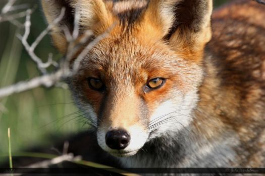 Red Fox 12 by Canisography