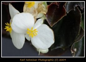 Begonia White Flower by KSPhotographic