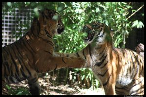 Baby Tigers at play by TVD-Photography