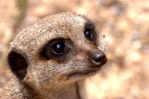 Meerkat by naturelens