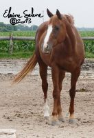 OLD - QH Mare - 12 by ElaineSeleneStock