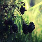Blackberries by AljoschaThielen
