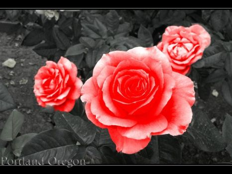 Rose Garden by shaylor