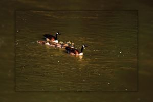 Canada Geese by Joe-Lynn-Design
