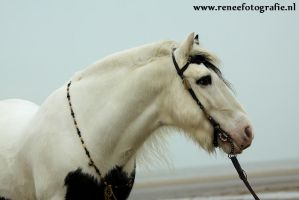 Chakotay, Irish Cob stallion 3 by lifaya