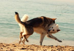 Beach 04 Wolfdog JUMP by tribandejoyce