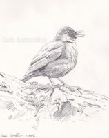 Common Blackbird sketch by makangeni