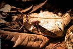 West African Gaboon Viper by TlCphotography730