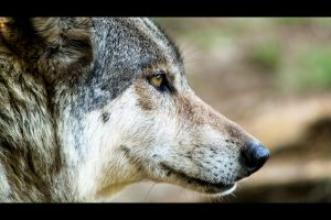 Wolf Head by Oberon7up