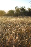Golden Grass by CompassLogicStock